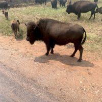 Bison1